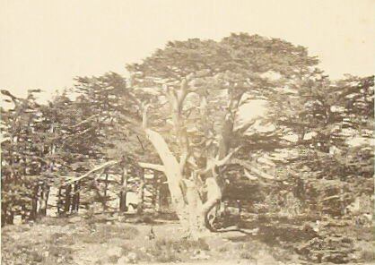 """""""The Largest of the Cedars of Lebanon,"""" in the book Egypt and Palestine, 2 vols., by Francis Frith (London: James S. Virtue, 1858-1859); volume II of II"""