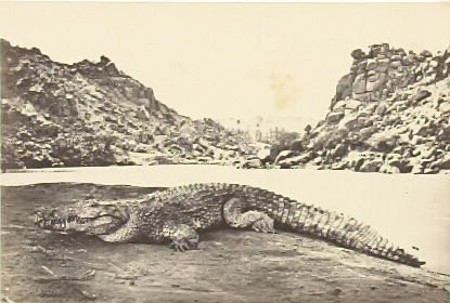 """""""Crocodile on a Sand-Bank,"""" in the book Egypt and Palestine, 2 vols., by Francis Frith (London: James S. Virtue, 1858-1859); volume II of II"""