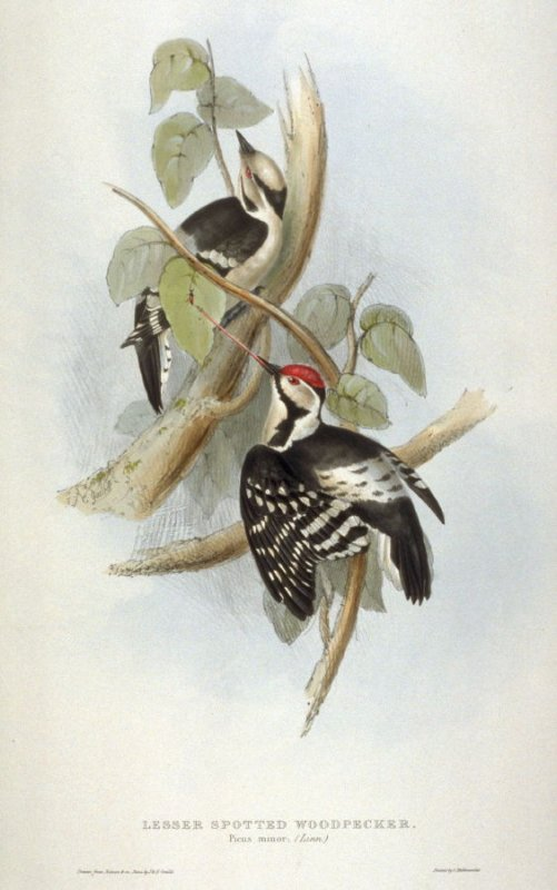 Lesser Spotted Woodpecker - Picus minor