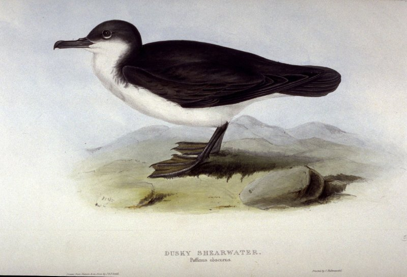 Dusky Shearwater - Puffinus obscurus