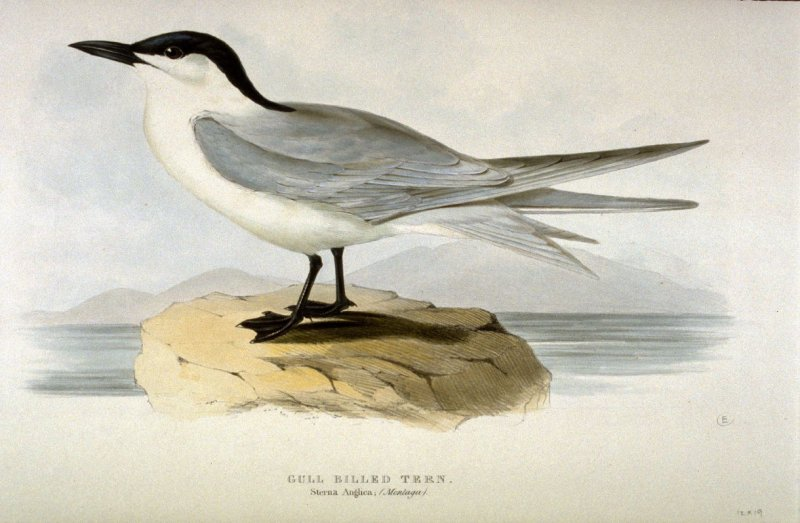Gull Billed Tern - Sterna Anglica