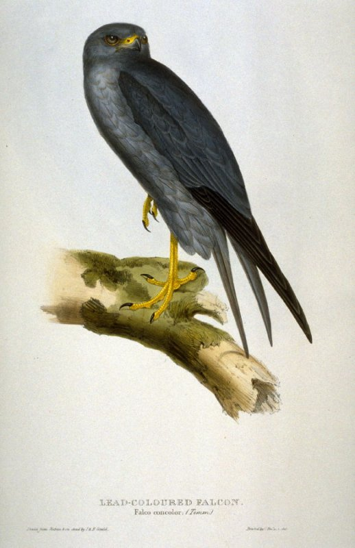 Lead-colored Falcon - Falco concolor