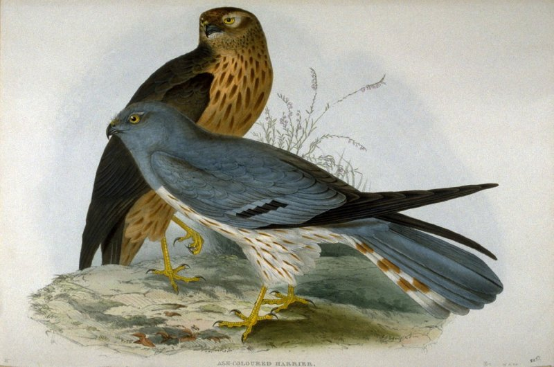 Ash-colored Harrier