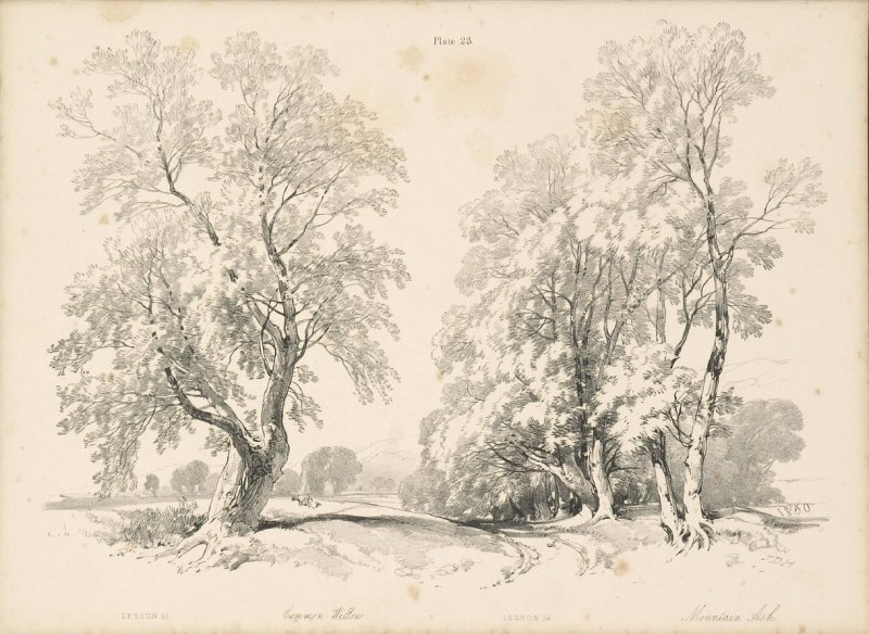 Illustration 24 in the book Lessons on Trees (London: David Bogue, 1850)