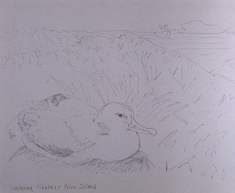 Wandering Albatross, Prion Island, sixty-fourth image from Travel Sketchbook of Antarctica