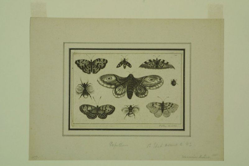 A Moth, Butterflies and Bees, from the series Diversae Insectorum