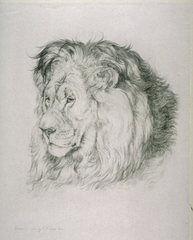 Head of lion