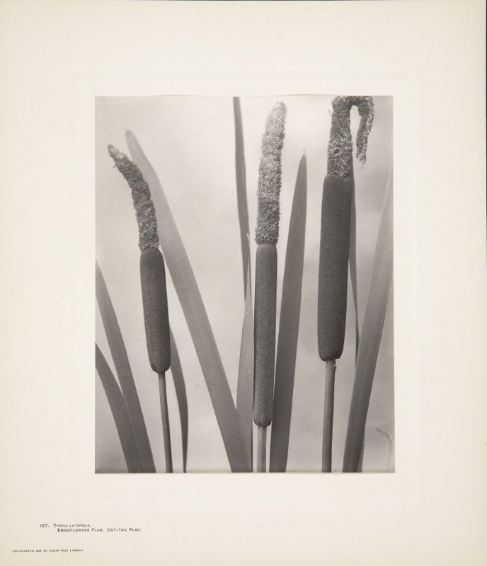 Typha Latifolia, Broad-Leaved Flag, Cat-Tail Flag, plate 127 from Wildflowers of New England, Photographed from Nature, Volume VI