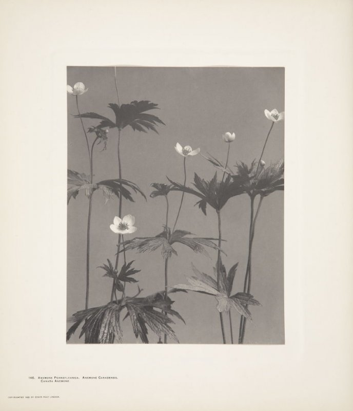 Anemone Canadensis, Anemone Pennsylvanica, Canada Anemone, plate 146 from Wildflowers of New England, Photographed from Nature, Volume VI