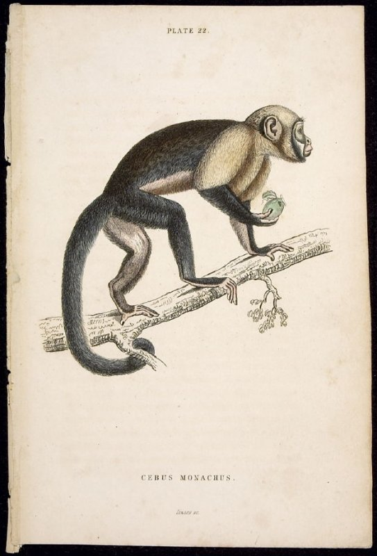 Plate 22, Monkey [Cebus Monachus] from William Jardine: The Naturalist's Library