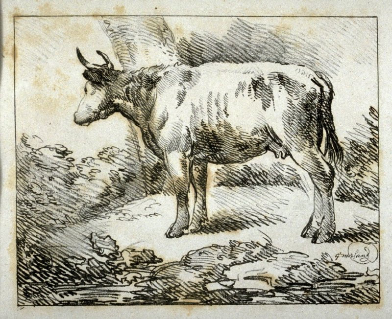 Cow standing