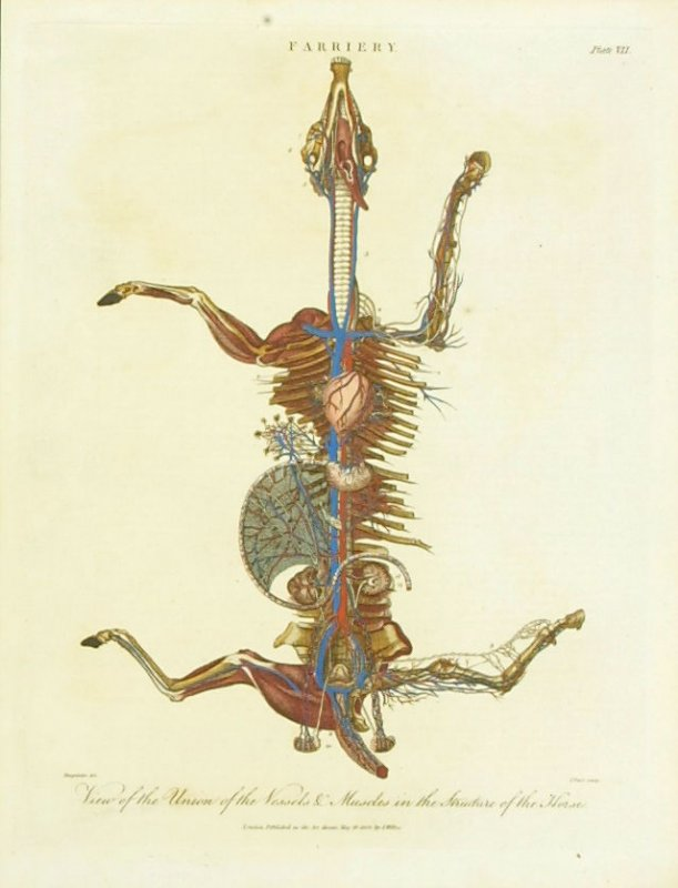 Farriery: View of the Union of the Vessels and Muscles in the Structure of the Horse, Plate VII