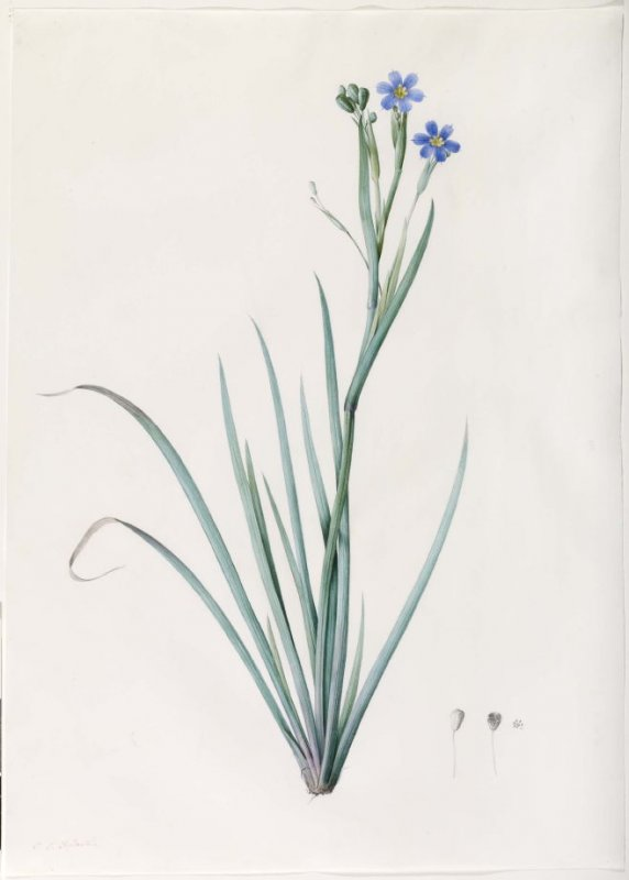 Sisyrinchium bermudiana, Plate 149 for Les Liliacées (1802-1816)