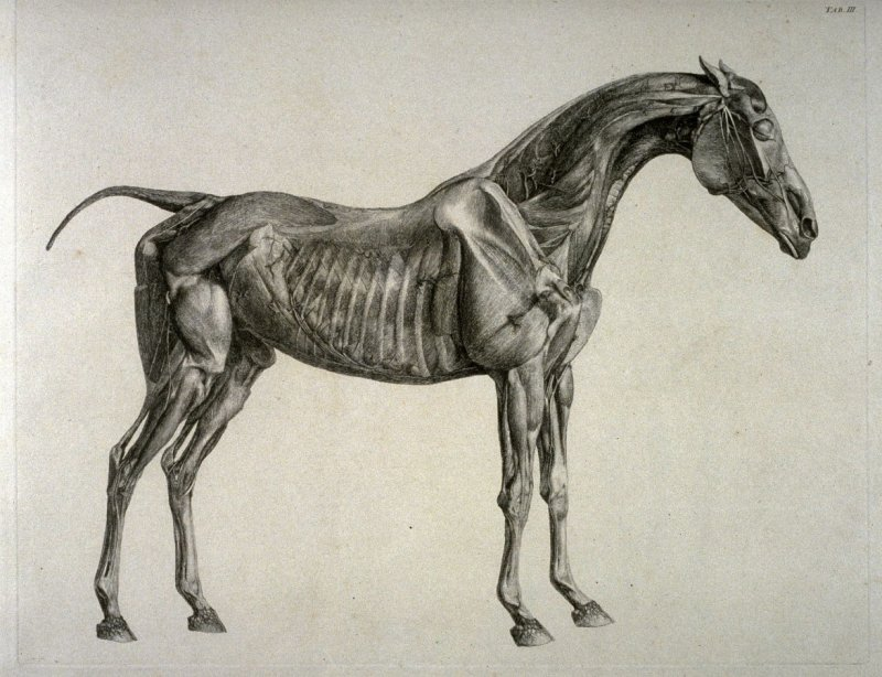 Second of two plates for the Third Anatomical Table of the Muscles, Fascias, Ligaments, Nerves, Arteries, Veins, Glands, and Cartilages of a Horse explained, which is the eighth plate in the book, The Anatomy of the Horse (London: printed by J. Purser, fo