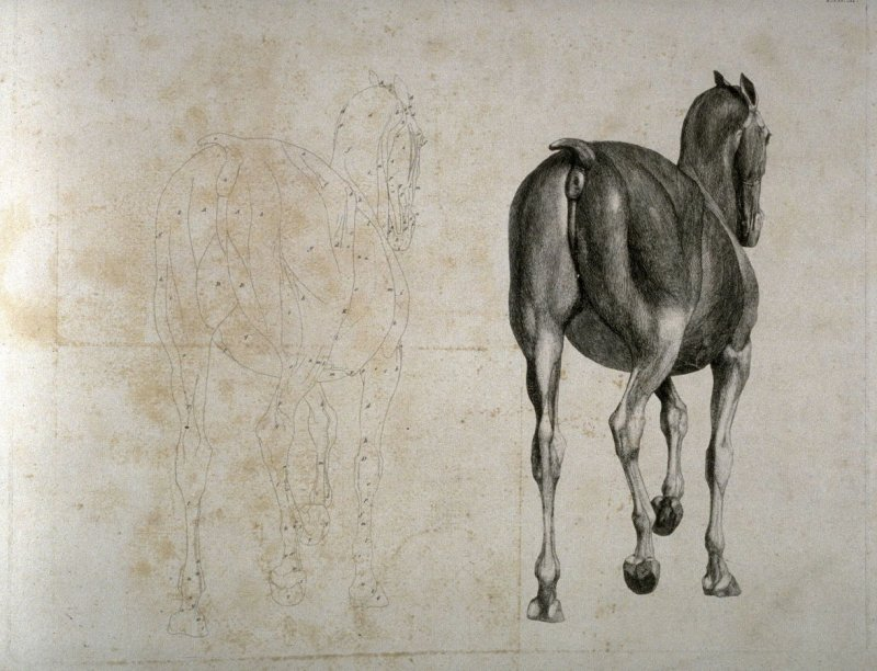 Plate for the Eleventh Anatomical Table of the Muscles, Fascias, Ligaments, Nerves, Arteries, Veins, Glands, and Cartilages of a Horse, viewed posteriorly, explained, which is the twentieth plate in the book, The Anatomy of the Horse (London: printed by J