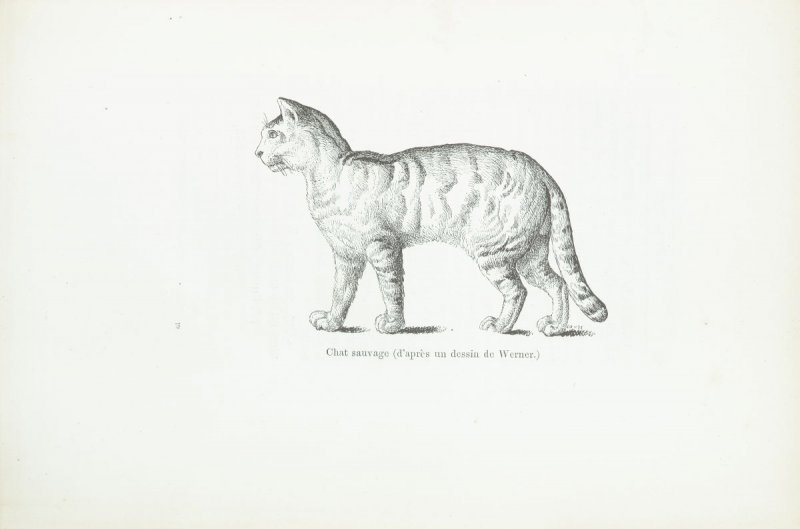 """Chat sauvage (d'aprés un dessin de Werner),"" pg. 289, in the book Les Chats (Cats) by Champfleury (Paris: J. Rothschild, 1870)."