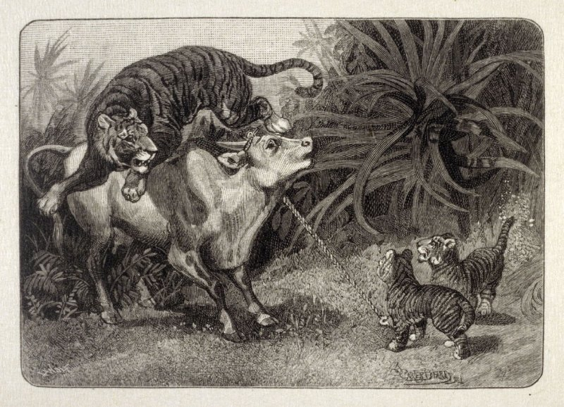 Cow and Tiger